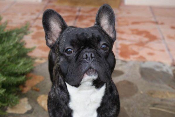 Frenchbulldogcomp